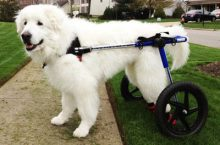 Handicapped Dogs Get A New Leash On Life