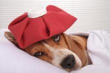Dog Flu